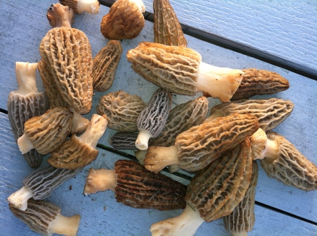 Morel Bounty 2013