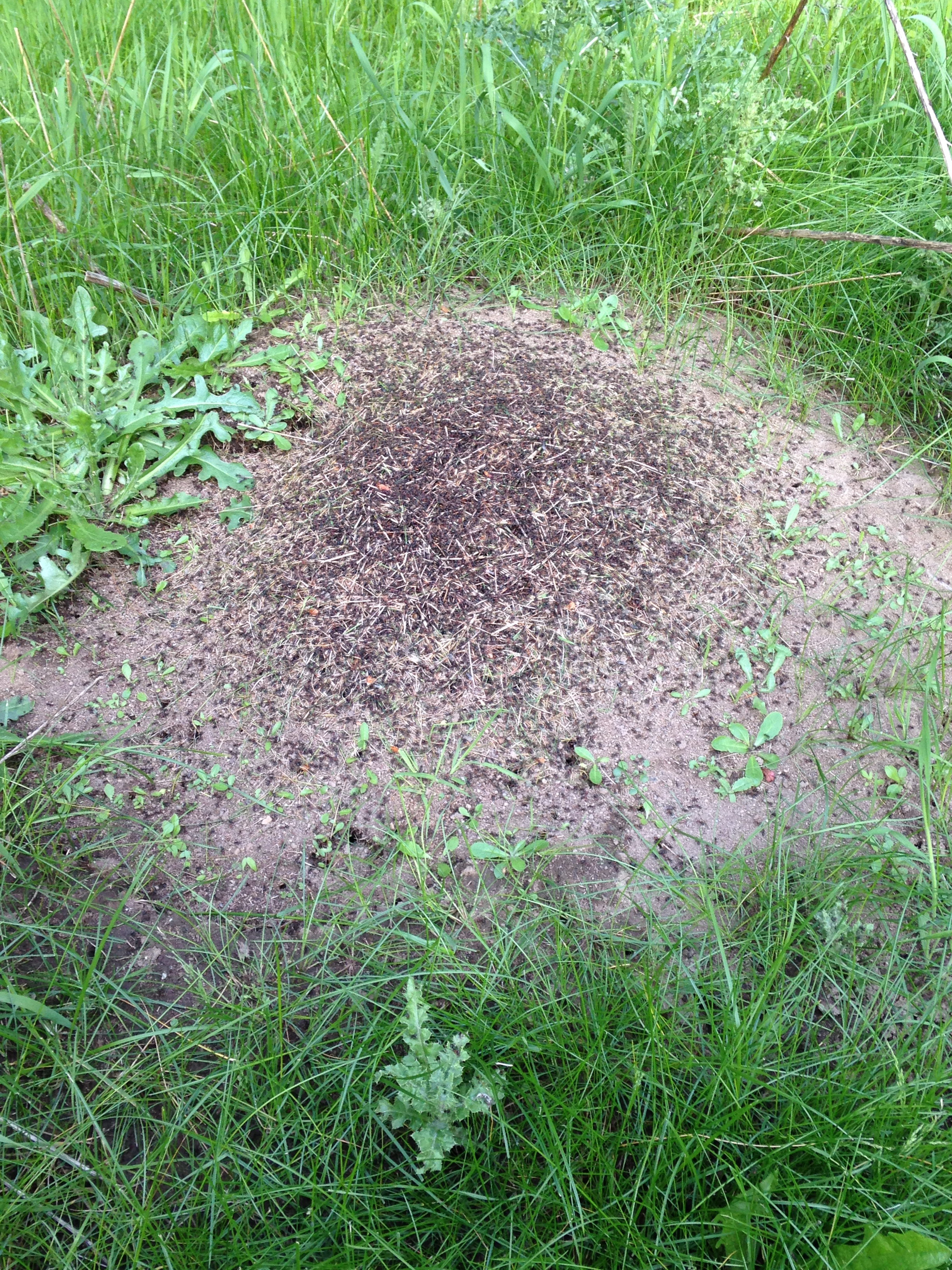 how to piss ants